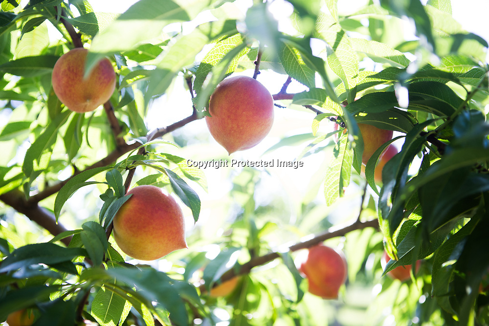 In addition to peaches, seen here, nectarines, blackberries, muscadines, plums, tomatoes, watermelons, cantaloupes, purple hull peas and apples are grown at Cherry Creek Orchards in Pontotoc.