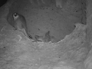 Adult female peregrine falcon perched on edge of eyrie cave at 0:46 AM, downy nestlings awake and stirring. © 2016 David A. Ponton [infrared photo by motion-activated camera, low-resolution limits repro. size]
