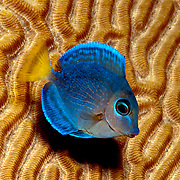 Blue Tang intermediate phase have yellow in tail; picutre taken Panama near San Blas Islands.