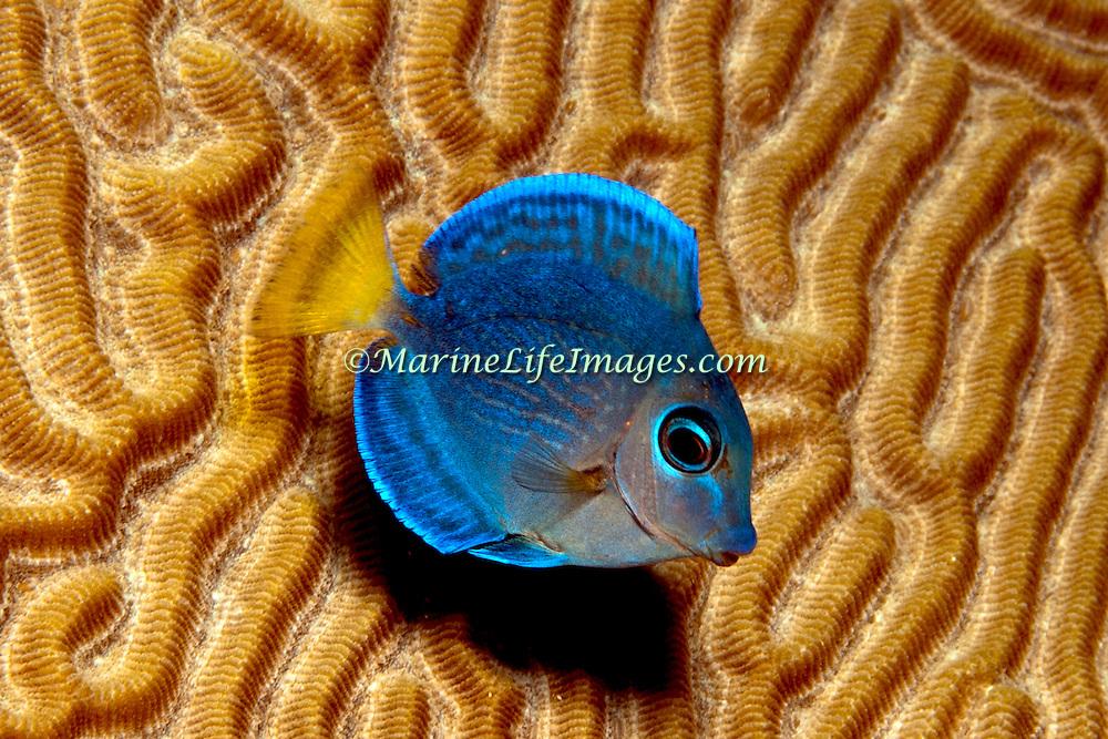 Blue Tang intermediate phase have yellow in tail; picutre taken Panama near San Blas Islands.