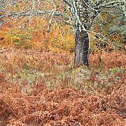 Tree with moss in wood autumn scene, Bois de Paul; PNR Livradois-Forez; Auvergne; Les Deux-Frères; France;