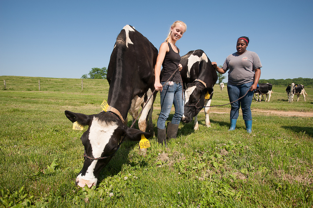 Young women with Cows at Dairy Farm<br /> Clarksville MD
