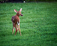 Fawn with Spots. Image taken with a Nikon D5 camera and 200-500 mm f/5.6 lens.