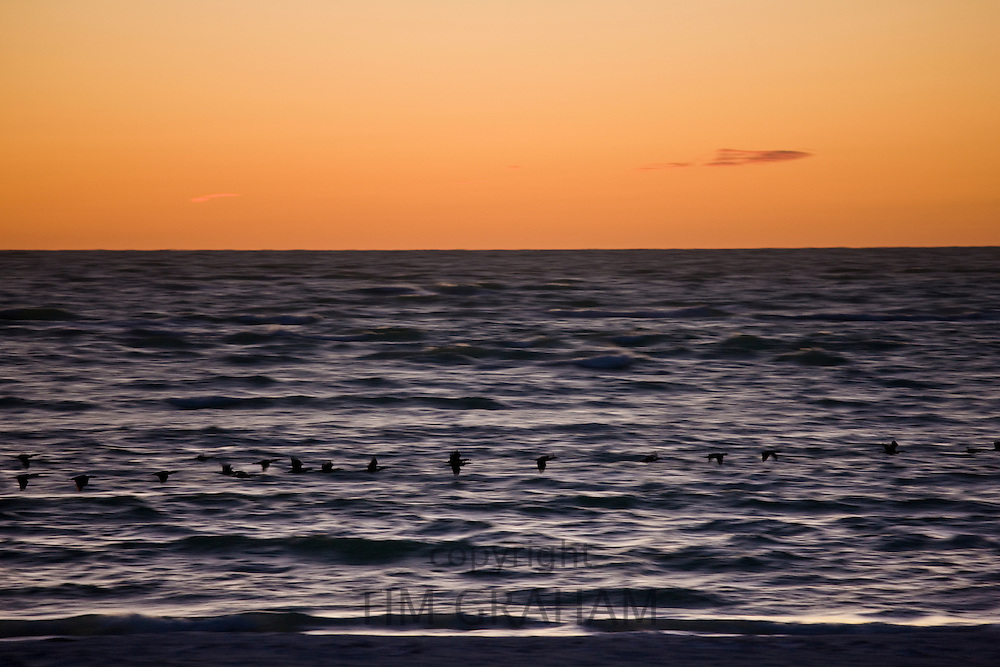 Double-crested Cormorants in flight in the Gulf of Mexico by Anna Maria Island, Florida, USA