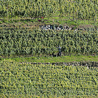 VARNA, ITALY - OCTOBER 13: A general view of terraced vineyards at  Abbazia di Novacella on October 13, 2010 in Varna, Italy. Abbazia di Novacella, in Alto Adige established in the year 1142 by Augustinian monks, is one of the oldest vineries in the world; it has a production of about 400,000 bottles of world class wines including Kerner, Sylvaner, Pinot Grigio, Gewurztraminer.