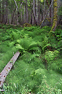 Ferns and Horsetails under the forest canopy at Burgoyne Bay. Species include Sword Fern (Polystichum munitum), Lady Fern (Athyrium filix-femina), and Common Horsetail (Equisetum arvense). Photographed from Daffodil Point Trail in Burgoyne Bay Provincial Park on Salt Spring Island, British Columbia, Canada