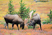 Fighting Bull Moose along Powerline Pass in Chugach State Park near Anchorage, Alaska