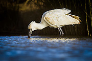 Royal Spoonbill feeding in Invercargill Estuary, Southland, New Zealand