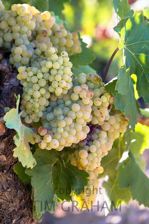 Viura green grapes for Rioja white wine in vineyard in Rioja-Alavesa area of Basque country, Spain