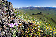 View of Arctic Phlox wildflowers and the eastern overlook through Caribou Pass towards Canada. Arctic National Wildlife Refuge, Alaska