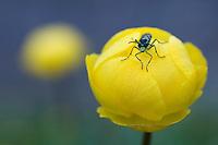 Trollius europaeus; Globe flower; Sawfly; Symphyta sp., Augstenberg, Liechtenstein