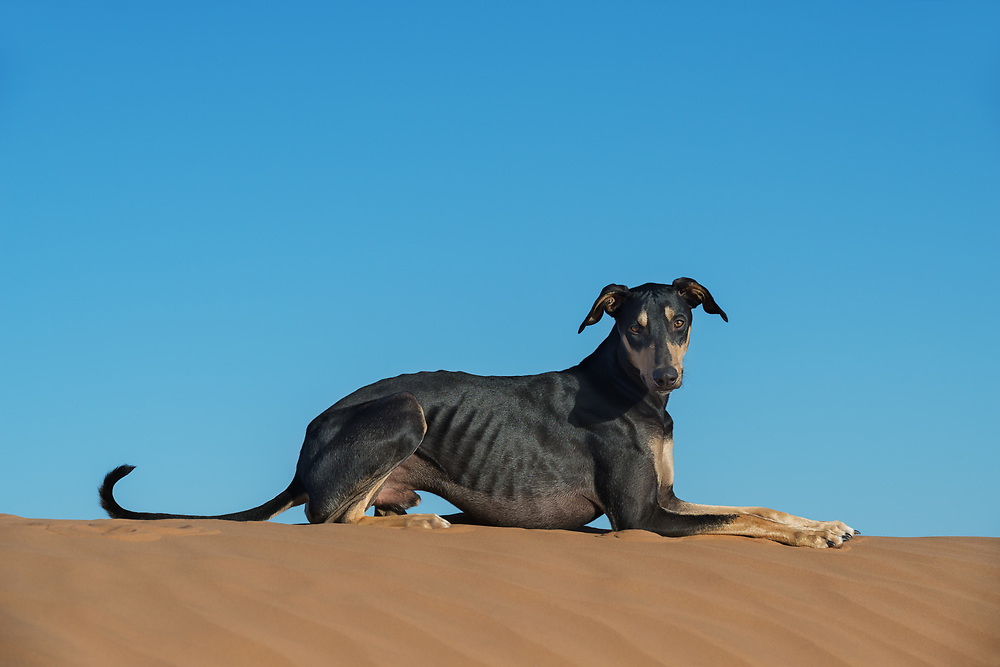A black Sloughi dog (Arabian greyhound) on top of a sand dune in the Sahara desert of Morocco.
