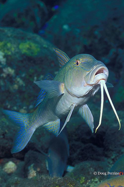 goldspotted, blue, or yellowsaddle goatfish, Parupeneus cyclostomus, Bali, Indonesia