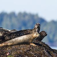 Harbour Seals (Phoca vitulina) sunning on rocks in Port Eliza Inlet, BC.