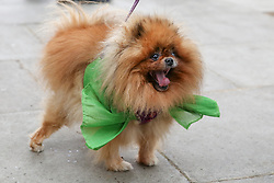 "© Licensed to London News Pictures. 14/06/2019. London, UK. ""Missy"" wearing a green ribbon arrives at St Helen's Church to commemorate the second anniversary of the Grenfell Tower fire service. On 14 June 2017, just before 1:00 am a fire broke out in the kitchen of the fourth floor flat at the 24-storey residential tower block in North Kensington, West London, which took the lives of 72 people. More than 70 others were injured and 223 people escaped. Photo credit: Dinendra Haria/LNP"