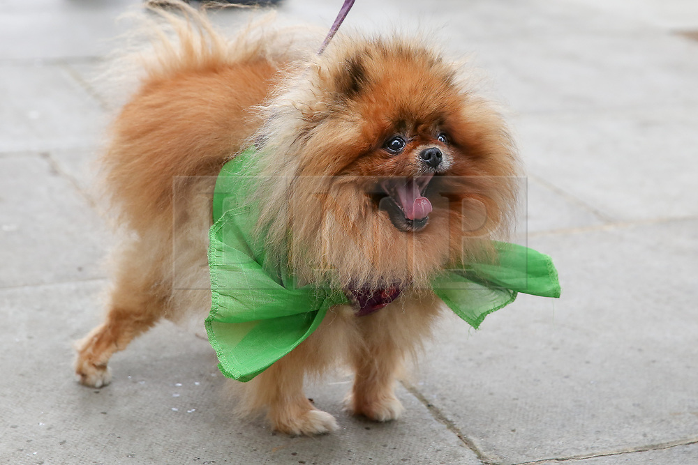 """© Licensed to London News Pictures. 14/06/2019. London, UK. """"Missy"""" wearing a green ribbon arrives at St Helen's Church to commemorate the second anniversary of the Grenfell Tower fire service. On 14 June 2017, just before 1:00am a fire broke out in the kitchen of the fourth floor flat at the 24-storey residential tower block in North Kensington, West London, which took the lives of 72 people. More than 70 others were injured and 223 people escaped. Photo credit: Dinendra Haria/LNP"""