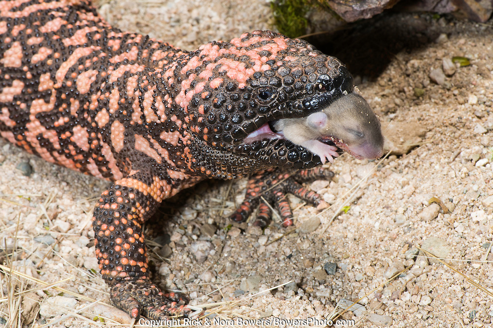 Gila Monster<br /> Heloderma suspectum suspectum<br /> Tucson, Arizona, United States<br /> 4 March      Adult (retuiculated form) eating White-throated Woodrat (Neotoma albigula) juvenile.      Helodermatidae