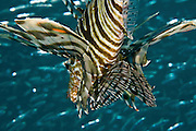 Israel, Eilat, Red Sea, - Underwater photograph of a common Lionfish Pterois miles
