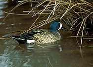 Blue-winged Teal Anas discors. Length 37-40cm. A small distinctive North American duck. Adult male has a bluish head with a striking and diagnostic white crescent. The body is buffish-brown, marbled with darker spots, and a white patch can be seen on the otherwise black stern. Adult female and juvenile are mainly marbled brown and are similar to their Teal counterparts. However, the plumage is greyer; note the pale spot at the base of the bill and the absence of a pale patch at the side of the base of the tail (seen in Teal). In flight, all the birds reveal an extensive and diagnostic blue panel across much of the upper surface of the inner wing. Ten or so individulas might be recorded in a good year, mainly in autumn and winter. Blue-winged Teals favour freshwater wetlands and occur in similar habitats to those frequented by migrant Garganeys in spring and summer.