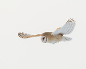 BEAUTY OF FLIGHT: BARN OWLS