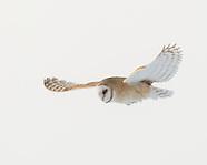 BEAUTY OF FLIGHT: BARN OWLS