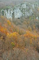 Common beech forest (Fagus sylvatica) at the Pollino Massif, Basilicata/Calabria, Pollino National Park, Italy. November 2008. Mission: Pollino National Park