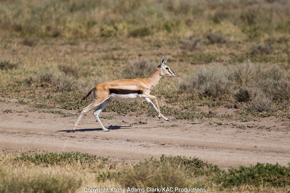 Thomson's Gazelle, Eudorac thomsonii, running, leaping, through grass, Ndutu, Ngorongoro Conservation Area, Tanzania, Africa.