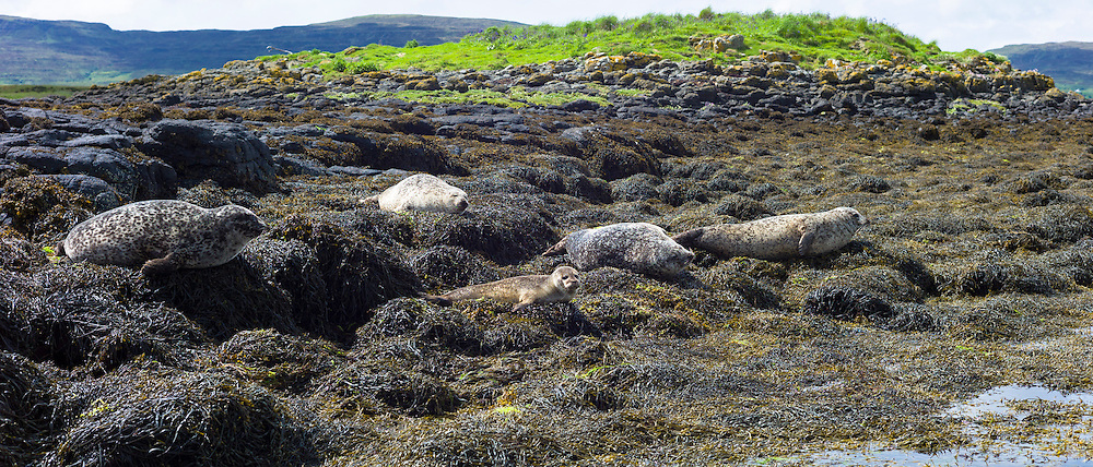Common Seal or Harbour Seal, Phoca vitulina, colony of adults and seal pup juvenile basking on rocks and seaweed by Dunvegan Loch, Isle of Skye, Western Scotland
