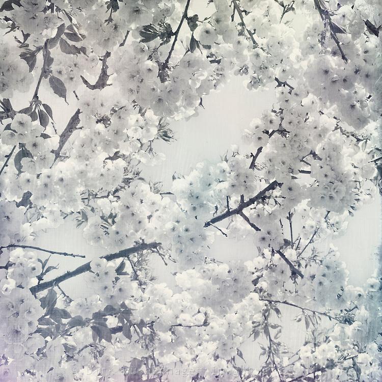 White cherry blossoms<br /> Prints &amp; more: <br /> http://society6.com/DirkWuestenhagenImagery/1000-cherry-blossoms_Print