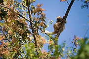 Pirapora_MG, Brasil...Macaco Bugio no galho de uma arvore...The Howler monkey on the branch tree...Foto: JOAO MARCOS ROSA /  NITRO