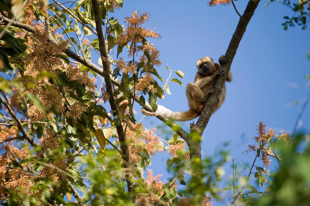 Pirapora_MG, Brasil...Macaco Bugio no galho de uma arvore...The Howler monkey on the branch tree...Foto: JOAO MARCOS ROSA /  NITRO