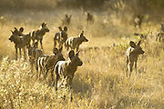 African Wild Dog<br /> Lycaon pictus <br /> On the hunt at sunset<br /> Northern Botswana, Africa<br /> *Endangered species