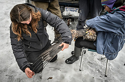 "Rachel Wheat, a graduate student at the University of California Santa Cruz counts the primary feathers on a bald eagle's (Haliaeetus leucocephalus) wing in preparation for clipping a small sample for stable isotope analyses. For consistency, she removed approximately two centimeters from the fourth secondary feather of each eagle's right wing. By counting out the ten primary feathers, she knew where to start counting to access the fourth secondary. Wheat is conducting a bald eagle migration study of eagles that visit the Chilkat River for her doctoral dissertation. She hopes to learn how closely eagles track salmon availability across time and space. The bald eagles are being tracked using solar-powered GPS satellite transmitters (also known as a PTT - platform transmitter terminal) that attach to the backs of the eagles using a lightweight harness. Assisting Wheat with the measurements and transmitter installation by holding the eagle is Yiwei Wang, graduate student, University of California Santa Cruz. The latest tracking location data of this bald eagle known as ""2Z"" can be found here: http://www.ecologyalaska.com/eagle-tracker/2z/ . During late fall, bald eagles congregate along the Chilkat River to feed on salmon. This gathering of bald eagles in the Alaska Chilkat Bald Eagle Preserve is believed to be one of the largest gatherings of bald eagles in the world."