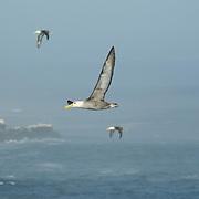Albatross in Flight, Galapagos islands, Ecuador