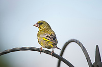 Greenfinch (Carduelis chloris) - male, Norwich , Norfolk, England