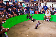 11 JANUARY 2014 - BANGKOK, THAILAND:     Spectators watch a cockfight in an informal cockfighting venue in Bangkok. Cockfighting dates back over 3,000 years and is still popular in many countries throughout the world today, including Thailand. Cockfighting is legal in Thailand. Unlike some countries, Thai cockfighting does not use artificial spurs to increase injury and does not employ the 'fight to the death rule'. Thai birds live to fight another day and are retired after two years of competing. Cockfighting is enjoyed by over 200,000 people in Thailand each weekend at over 75 licensed venues. Fighting cocks live for about 10 years and only fight for 2nd and 3rd years of their lives. Most have only four fights per year. Most times the winner is based on which rooster stops fighting or tires first rather than which is the most severely injured. Although gambling is illegal in Thailand, many times fight promoters are able to get an exemption to the gambling laws and a lot of money is wagered on the fights.    PHOTO BY JACK KURTZ