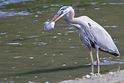A Great Blue Heron (Ardea herodias fannini) holds a flounder it just caught in Big Beef Creek  the Hood Canal of Puget Sound, WA, USA  It will eventually let the fish go because it already had another fish in its throat that it was trying to swallow.