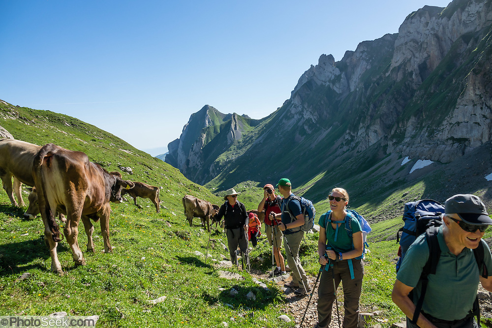 Cattle and hikers in Meglisalp pastures, on the trail to Rotsteinpass, in the Alpstein limestone mountain range, Appenzell Alps, Switzerland, Europe. Appenzell Innerrhoden is Switzerland's most traditional and smallest-population canton (second smallest by area). For licensing options, please inquire.