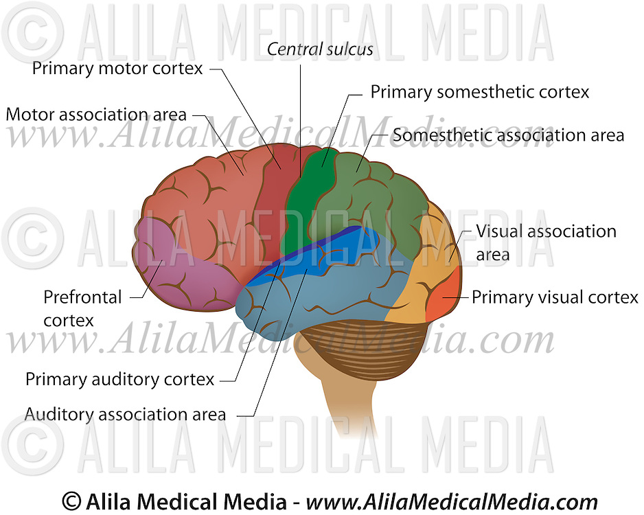 Functional Areas Of The Brain Alila Medical Images