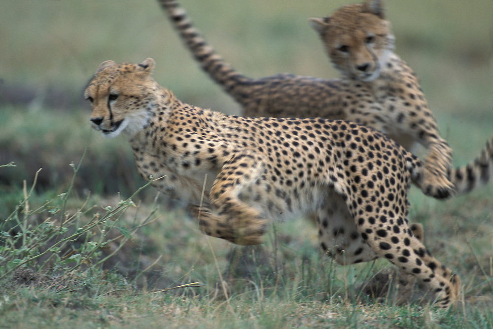 Kenya, Masai Mara Game Reserve, Adolescent Cheetahs (Acinonyx jubatas) chase one another after afternoon nap