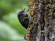 The rifleman, New Zealand's smallest bird, is one of only two surviving species within the ancient endemic New Zealand wren family. Blue Pools Track, Mount Aspiring National Park, Southern Alps, near Makarora, Otago region, South Island of New Zealand. UNESCO lists Mount Aspiring as part of Wahipounamu - South West New Zealand World Heritage Area.