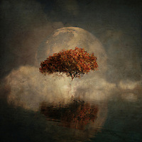 American Beech<br />