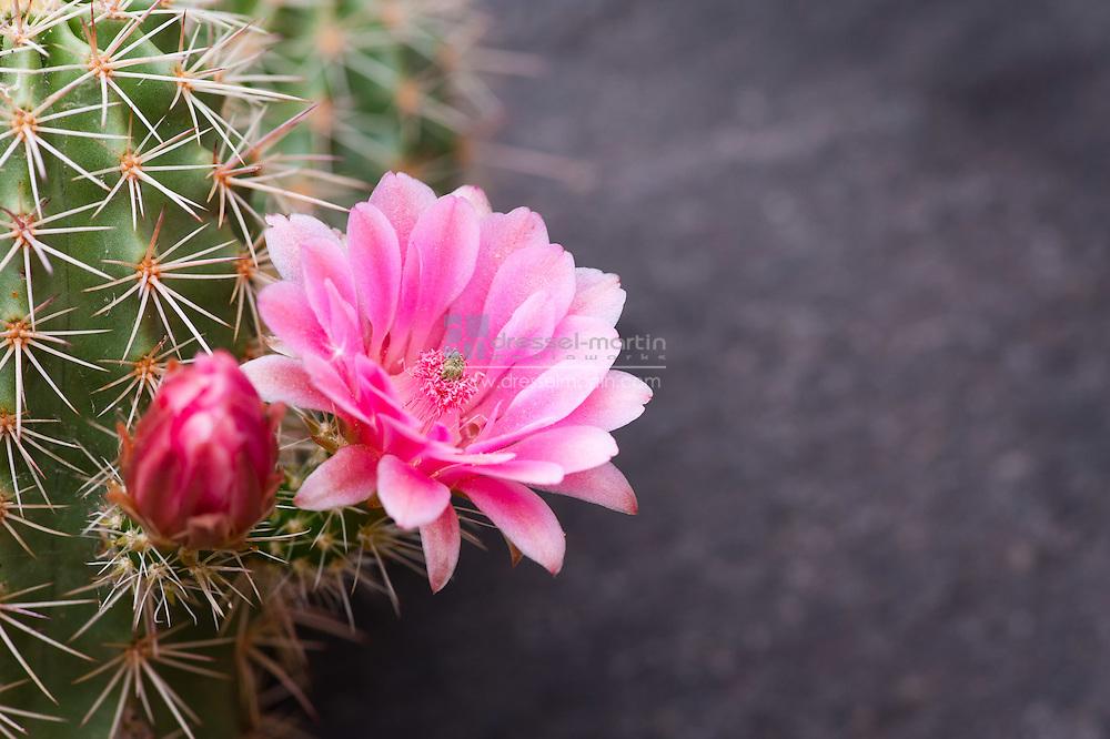 Echinocereus triglochidiatus var. melanacanthus, Claret Cup Cactus, Dryland Mesa Garden