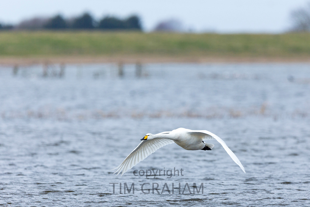 Whooper Swan, Cygnus cygnus,, flapping wings in flight and with wings and feathers spread wide at Welney Wetland Centre, Norfolk, UK