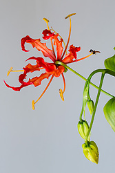 Gloriosa Lily #9