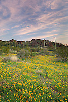 Fields of Mexican Poppies in the Ajo Mountains at sunset, Organ Pipe Cactus National Monument Arizona