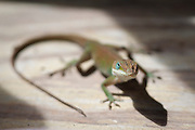 "An anole lizard, often incorrectly called a ""chameleon,"" hangs out on a Bluffton, SC, porch near the May River."