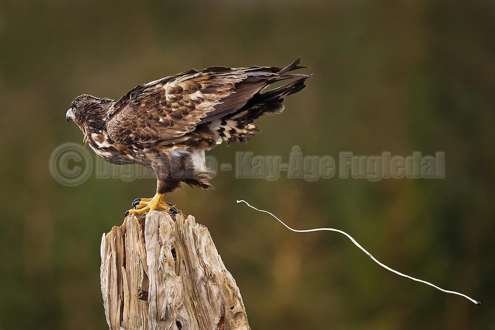 Havørn som driter   Shitting White-tailed Eagle