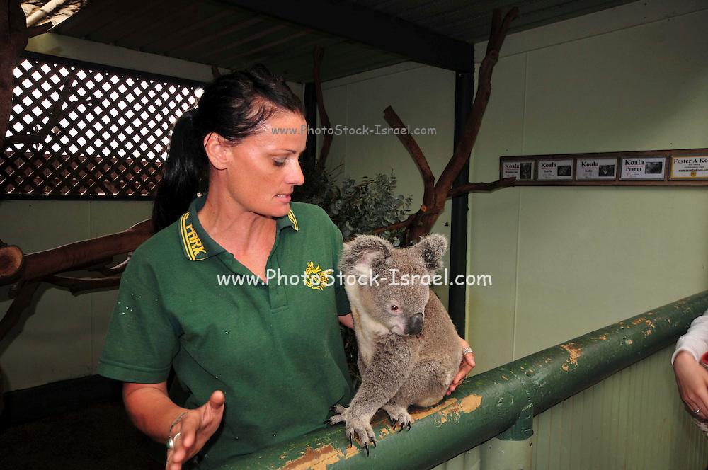 Australia, New South Wales, Sydney. Featherdale wildlife park caretaker and captive koala (Phascolarctos cinereus)
