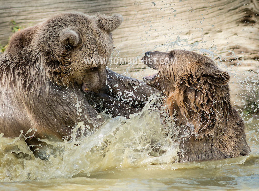 Otisville, New York -Bears play in the water at the Orphaned Wildlife Center on Sept. 7, 2016.